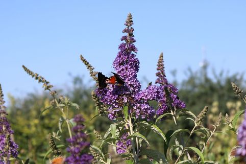 Sommerflieder / Schmetterlingsstrauch 'Empire Blue' - Buddleja davidii 'Empire Blue'