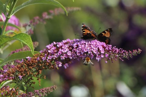 Sommerflieder / Schmetterlingsstrauch 'Fascination' - Buddleja davidii 'Fascination'