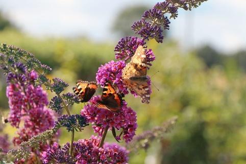 Sommerflieder / Schmetterlingsstrauch 'Flower Power' ® / 'Bicolor' - Buddleja davidii 'Flower Power' ® / 'Bicolor'