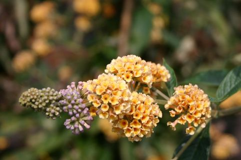 Sommerflieder / Schmetterlingsstrauch 'Honeycomb' - Buddleja weyeriana 'Honeycomb'