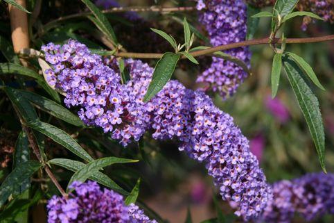 Sommerflieder / Schmetterlingsstrauch 'Nanho Blue' - Buddleja davidii 'Nanho Blue'
