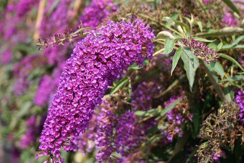 Sommerflieder / Schmetterlingsstrauch 'Nanho Purple' - Buddleja davidii 'Nanho Purple'