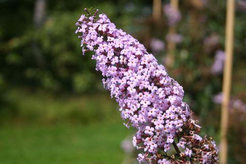 Sommerflieder / Schmetterlingsstrauch Nanhoensis - Buddleja davidii 'Nanhoensis'