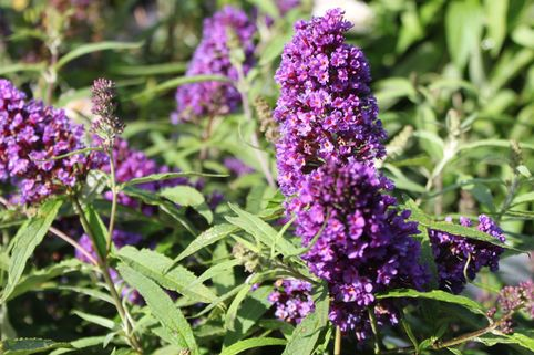 Sommerflieder / Schmetterlingsstrauch 'Purple Emperor' - Buddleja davidii 'Purple Emperor'
