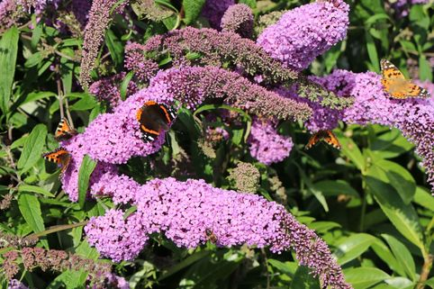 Sommerflieder / Schmetterlingsstrauch 'Purple Prince' - Buddleja davidii 'Purple Prince'