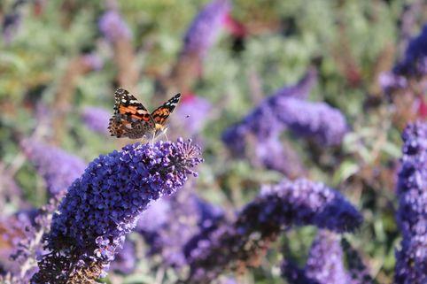 Sommerflieder / Schmetterlingsstrauch 'Reve de Papillon' ® Blue - Buddleja davidii 'Reve de Papillon' ® Blue