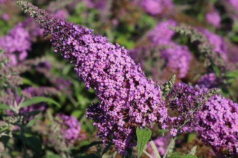 Sommerflieder / Schmetterlingsstrauch 'Reve de Papillon' ® Pink - Buddleja davidii 'Reve de Papillon' ® Pink