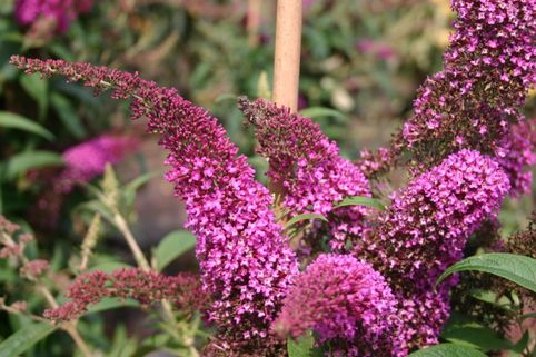 Sommerflieder / Schmetterlingsstrauch 'Summer Beauty' - Buddleja davidii 'Summer Beauty'