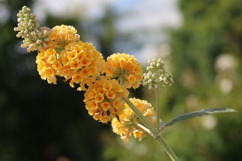 Sommerflieder / Schmetterlingsstrauch 'Sungold' - Buddleja weyeriana 'Sungold'