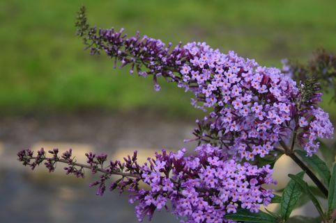 Sommerflieder / Schmetterlingsstrauch 'Tovelill' - Buddleja davidii 'Tovelill'