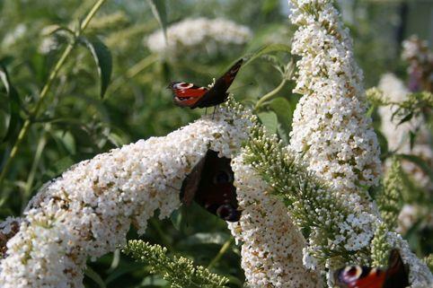 Sommerflieder / Schmetterlingsstrauch 'White Profusion' - Buddleja davidii 'White Profusion'