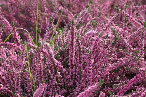 Sommerheide / Besenheide / 'Annabell' - Calluna vulgaris 'Annabel'