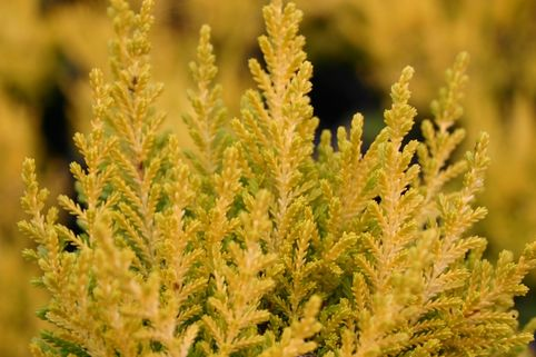 Sommerheide / Besenheide 'Cottswood Gold' - Calluna vulgaris 'Cottswood Gold'