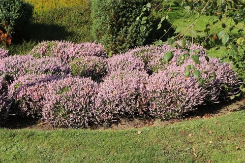 Sommerheide / Besenheide 'County Wicklow' - Calluna vulgaris 'County Wicklow'