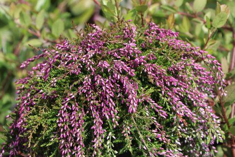 Sommerheide / Besenheide GardenGirls ® 'Nelly' (S) - Calluna vulgaris GardenGirls ® 'Nelly' (S)