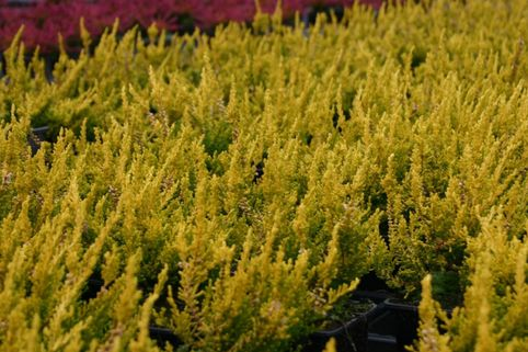 Sommerheide / Besenheide 'Gold Haze' - Calluna vulgaris 'Gold Haze'