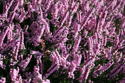 Sommerheide / Besenheide 'H.E. Beale' - Calluna vulgaris 'H.E. Beale'