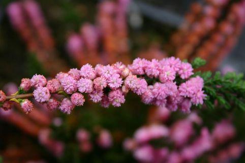 Sommerheide / Besenheide 'J.H. Hamilton' - Calluna vulgaris 'J.H. Hamilton'