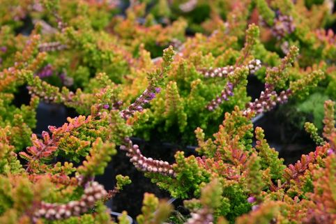 Sommerheide / Besenheide 'Loni' - Calluna vulgaris 'Loni'