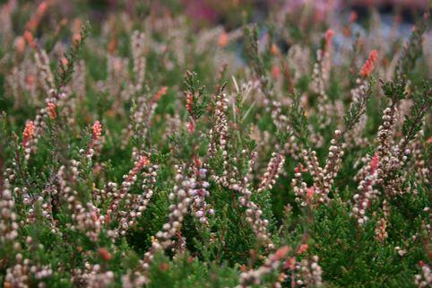 Sommerheide / Besenheide 'Naturpark' - Calluna vulgaris 'Naturpark'