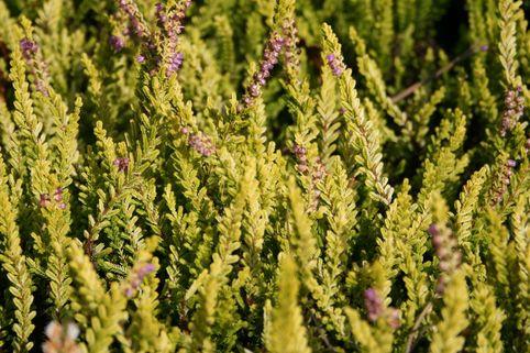 Sommerheide / Besenheide 'Olympic Gold' - Calluna vulgaris 'Olympic Gold'