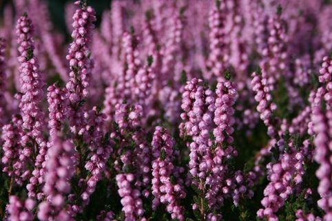 Sommerheide / Besenheide 'Peter Sparkes' - Calluna vulgaris 'Peter Sparkes'