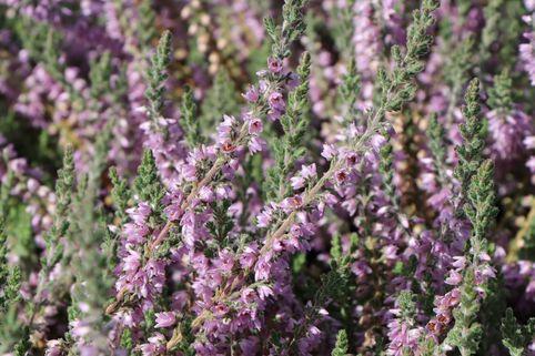 Sommerheide - Calluna vulgaris 'Silver Knight'