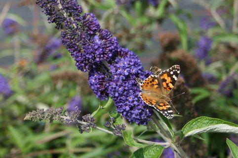 Sommertraum Schmetterlingsstrauch / Sommerflieder Blau & Rot - Buddleja davidii Blau & Rot