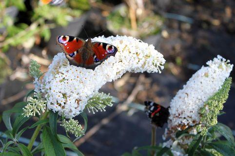 Sommertraum Schmetterlingsstrauch / Sommerflieder Weiß & Purpur - Buddleja davidii Weiß & Purpur