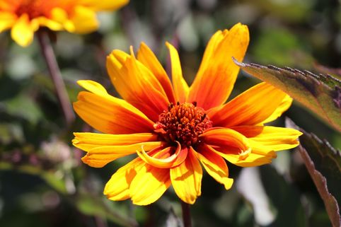 Sonnenauge 'Burning Hearts' - Heliopsis helianthoides 'Burning Hearts'