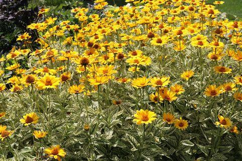 Sonnenauge 'Lorraine Sunshine' - Heliopsis scabra 'Lorraine Sunshine'