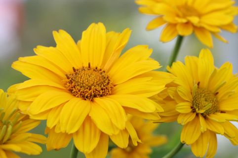 Sonnenauge 'Sommersonne' - Heliopsis scabra 'Sommersonne'