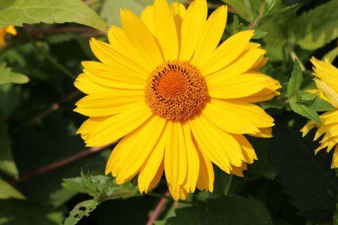 Sonnenauge 'Spitzentänzerin' - Heliopsis scabra 'Spitzentänzerin'