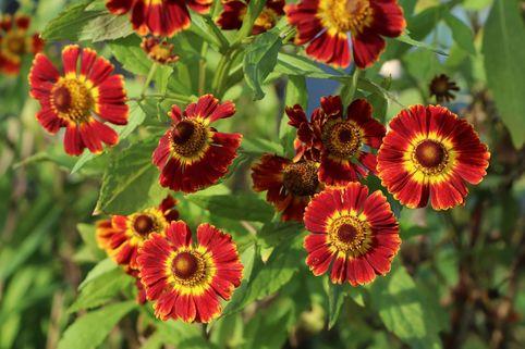 Sonnenbraut 'Königstiger' - Helenium x cultorum 'Königstiger'
