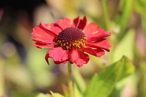 Sonnenbraut 'Ruby Charm' - Helenium x cultorum 'Ruby Charm'