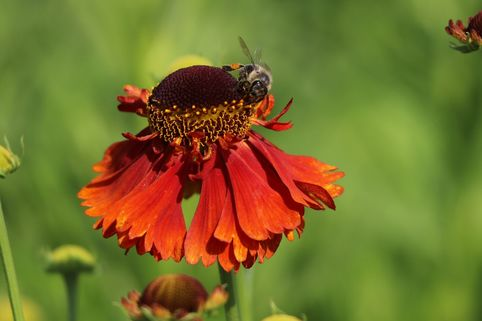 Sonnenbraut 'Sahin's Early Flowerer' ® - Helenium x cultorum 'Sahin's Early Flowerer' ®
