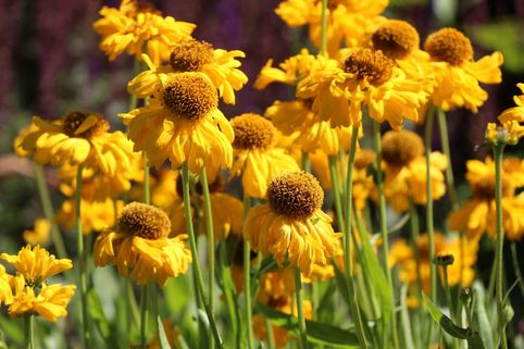 Sonnenbraut 'The Bishop' - Helenium bigelovii 'The Bishop'