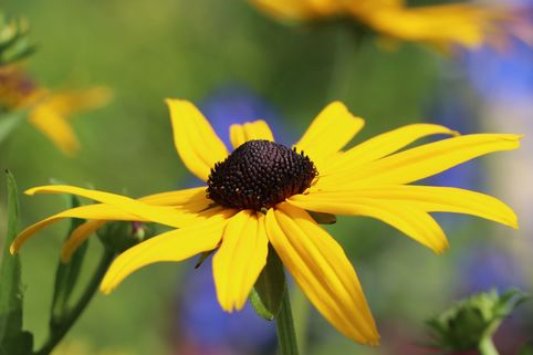Sonnenhut 'Early Bird Gold' ® - Rudbeckia fulgida 'Early Bird Gold' ®