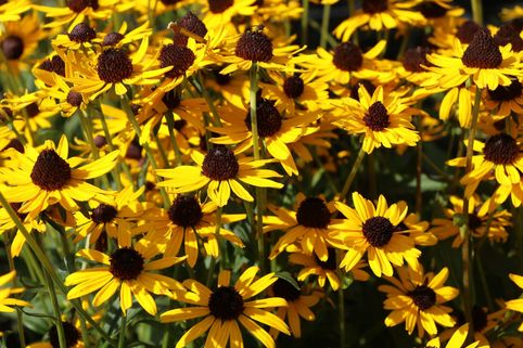 Sonnenhut 'Little Gold Star' ® - Rudbeckia fulgida 'Little Gold Star' ®