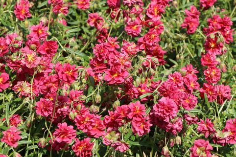 Sonnenröschen 'Cerise Queen' - Helianthemum x cultorum 'Cerise Queen'