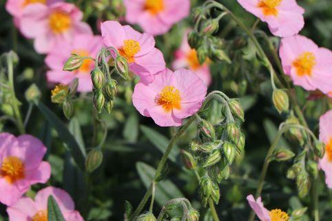 Sonnenröschen 'Lawrensons Pink' - Helianthemum x cultorum 'Lawrensons Pink'