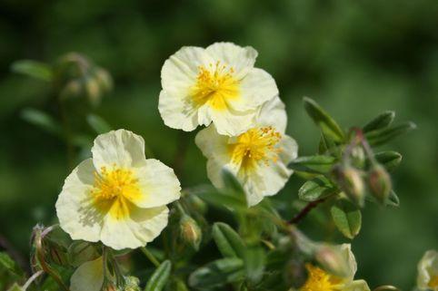 Sonnenröschen 'Wisley Primrose' - Helianthemum x cultorum 'Wisley Primrose'