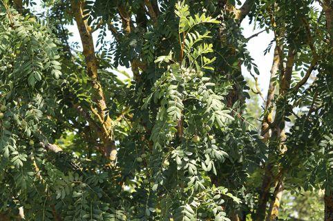 Speierling - Sorbus domestica