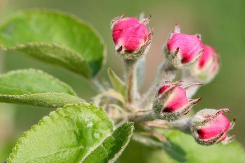Spindelbusch-Apfel 'Jonagold' - Malus 'Jonagold'