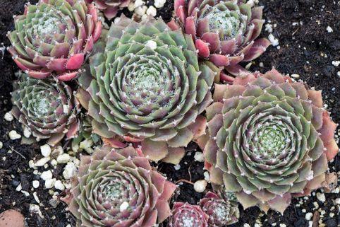 Spinnwebige Steinrose 'Rauhreif' - Sempervivum arachnoideum 'Rauhreif'