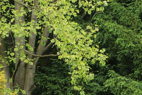 Spitzahorn 'Drummondii' - Acer platanoides 'Drummondii'