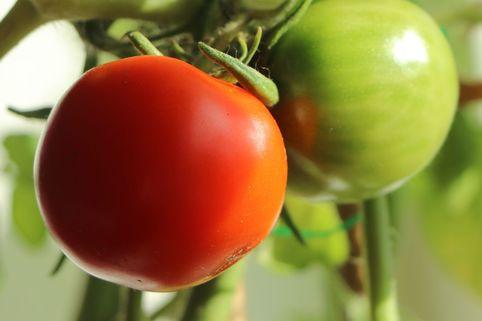 Stabtomate 'Campos' ® / 'Sportivo' - Solanum lycopersicum 'Campos' ® / 'Sportivo'