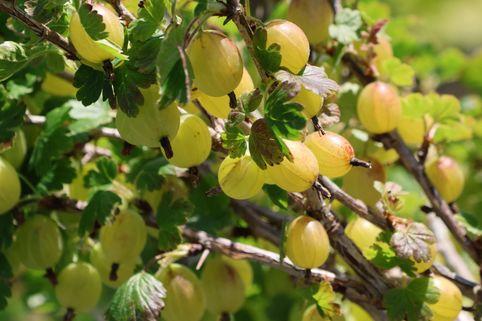 Stachelbeere 'Hinnonmäki gelb' - Ribes uva-crispa 'Hinnonmäki gelb'