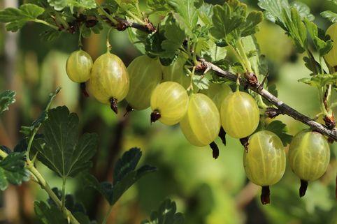 Stachelbeere 'Invicta'    hellgrün - Ribes uva-crispa 'Invicta'