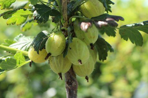 Stachelbeere 'Karlin'       grün - Ribes uva-crispa 'Karlin'